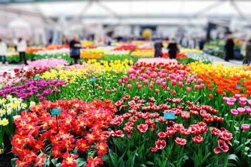Parady Kwiatowe w Holandii
